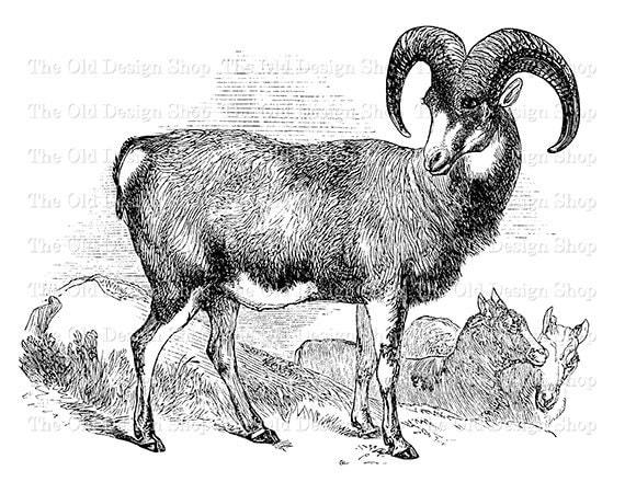 Mouflon Ram Mountain Sheep Clip Art Vintage Printable Animal