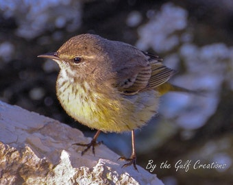 Yellow Bellied Warbler, Nature Photography, Fine Art Photography, 8X10, Matted, Glossy, Matted