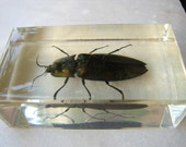 vintage entomology study-Chinese Spring beetle, preserved in acrylic block-Taxidermy beetles, paper weights