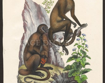 Monkey Print Original 1827 Engraving by Joseph Brodtmann for H.R.Schinz Hand Coloured Engraving Decorative Natural History Print