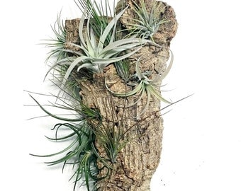 Air Plant Wall Hang: Vertical Garden, Air Plant, Air Plant Holder