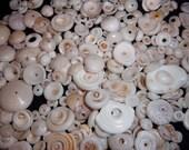 Large Lot of Hawaiian Puka Shells for Jewlery & Crafting 10 oz.