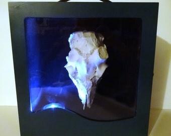 Deer Skull Display Curiosity Cabinet Wunderkammer Harm Free bone box diorama Oddity