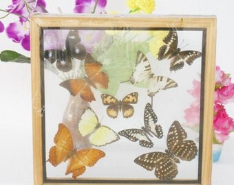 REAL mixed BUTTERFLIES Taxidermy Double Glass in Frame /M90BB