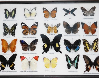 REAL 20 MIX BUTTERFLIES Collection Taxidermy Framed/BTF13G