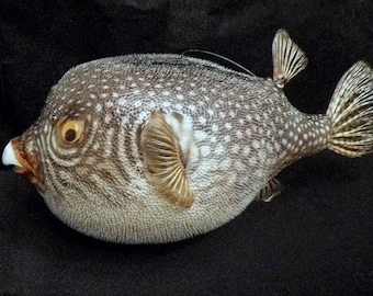"Large Puffer Fish 16"" and up parrot fish dried preserved taxidermy fish weird unusual ocean theme unique gifts"