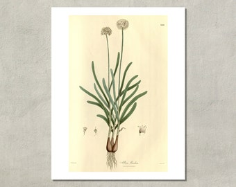 Wild Onion Botanical Print, 1832 - 8.5x11 Reproduction Antique Print - also available in 11x14 and 13x19 - see listing details