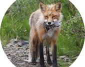 Red Fox Eating Lemmings Dinner Plate