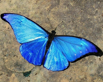 One Real Blue Morpho Rhetenor Rhetenor Butterfly Unmounted Wings Closed