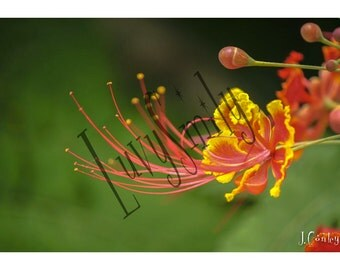 Dragon Flower Photograph