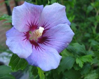 Blue Bird Hibiscus ( Althea ) - Rose Of Sharon - Live Plant - Quart Pot