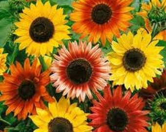 AUTUMN SUNFLOWER SEEDS 25 Fresh seeds ready to plant in your garden