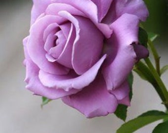 Light purple rose seeds, flower roses seeds,357, roses from seeds,planting roses,growing roses from seeds,seeds for roses,gardening