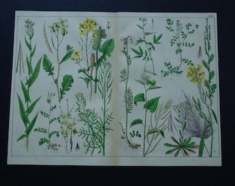1879 old botanical print LARGE antique floral illustration mustards vintage pictures of flixweed black mustard garlic colza flowers flora