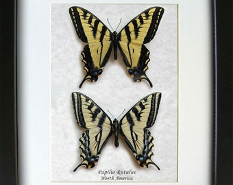 Gift Set Real Butterflies Western Tiger Swallowtail Papilio Rutulus Framed In Shadowbox