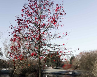 Red leaf tree in winter Milton Keynes Print 18x12 inch