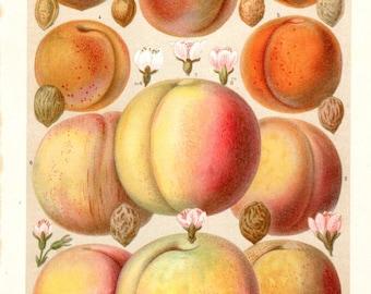 """Vintage Botanical Print Peach Peaches Apricots Fruit Lithograph Kitchen Decor Matted 11 X 14""""  Antique Botanical Print"""