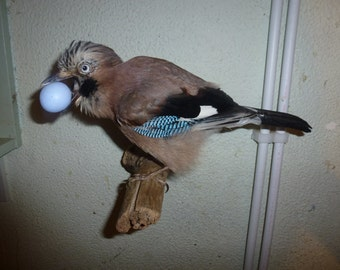 A wall mounted jay with a replica bird egg.