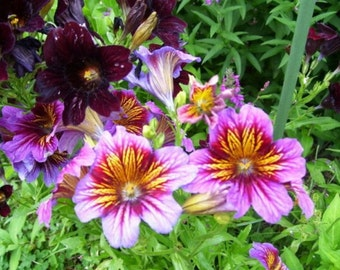 Painted Tongue- Salpiglossis- 100 Seeds
