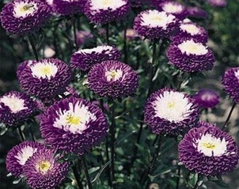 Aster Pompon Blue * Fragrant!! 25 Seeds