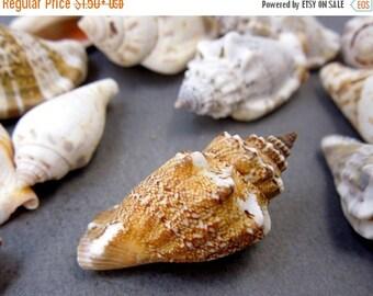 8% Valentines Day SALE Strombus Shell- Strombus Snail Shell (RK8-B9)