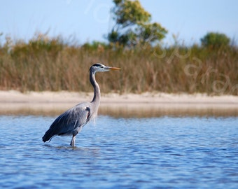 Beautiful Great Blue Heron Photograph // Wading Bird in Water // Bird Art // Nature Photography
