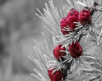 088 - Nature Photograph of Tamarack Cones (Selective Color) - Red Wall Art, Home Decor