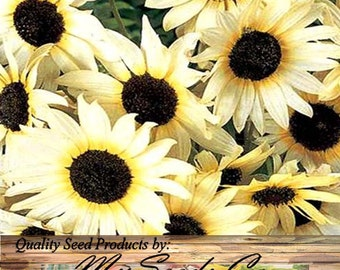 ITALIAN WHITE Sunflower seed - Attracts Honey BEES Birds Butterflies ~ Great 4 containers pots