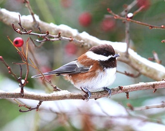 Bird Wall Art, Small Birds, Chickadee in Winter, Nature Photography, Wildlife Prints, Nature Lover Gift, Winter Prints, Snow,Chickadee Photo