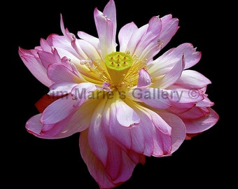 Baby pink lotus water lily photograph