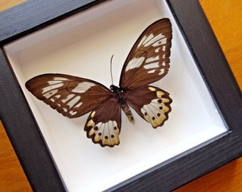Real Ornithoptera Priamus Poseidon Female Framed - Taxidermy - Home Decoration - Collectibles