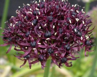 Atropurpureum Flowering Onion 10 Bulbs - Allium - NEW