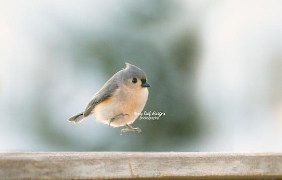 Tufted Titmouse Backyard Bird Original Photography
