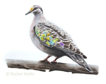 """8x10"""" Australian Birds - Common Bronzewing - Bird Print"""