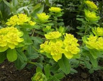 Euphorbia Polychroma /Cushion Spurge Flower Seeds / Perennial 30+