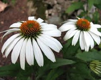 Primadonna White Echinacea Flower Seeds / Purpurea / Perennial 45+