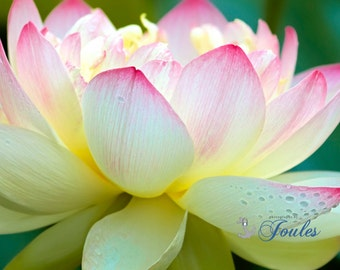Limited Edition ~ Lotus, Wickford, Rhode Island, Floral, Flowers, Purple, Summer, Fine Art Canvas, New England, Fine Art Photography