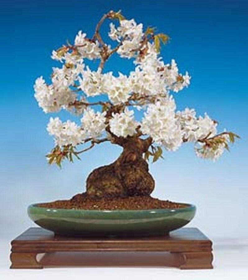 Prunus avium wild cherry gean flowering cherry for Bonsai ciliegio