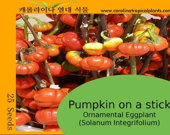 Pumpkin on a Stick - Ornamental Eggplant (Solanum Integrifolium) 25 Seeds