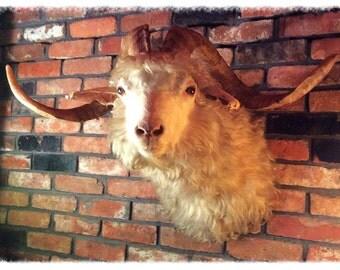 Vintage Taxidermy, Angora Goat Shoulder Mount. Huge horns!
