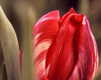 Tulip Photograph Digital Download Macro Floral Nature Flower Photography Fine Art Photography Wall Print Wall Art