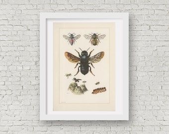 1961 Bees Illustration, Insects Print, Vintage Lithograph, Apidae Entomology, Osmia rufa, Chalicodoma muraria, Megachile, Dioxys cincta