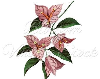 Pink Floral Botanical Print, Botanical Digital Illustration for Print, Artwork, Collage - Digital Image INSTANT DOWNLOAD - 1557