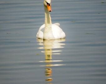 Elegant Swan unframed