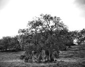 Black and White Photography, Oak Tree, Landscape Photography, Rustic Home Decor Wall Art Print, Nature Photography, Fine Art Photography