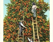 Florida Vintage Postcard - Picking Oranges in Florida (Unused)