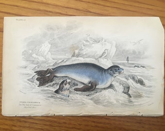 1833 ANTIQUE SEAL ENGRAVING original antique sealife print - fur seal