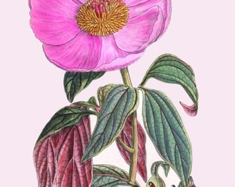 antique french botanical print majorcan peony paeonia cambessedesii illustration digital download