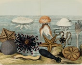 "1860 Rare Amazing Large antique SEA LIFE CREATURES print, Jellyfish, starfish, sea urchin, coral, , 156 years old, size 17'' x 13"" inches"