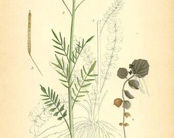 CUCKOO FLOWER - Botanical Book Plate 192